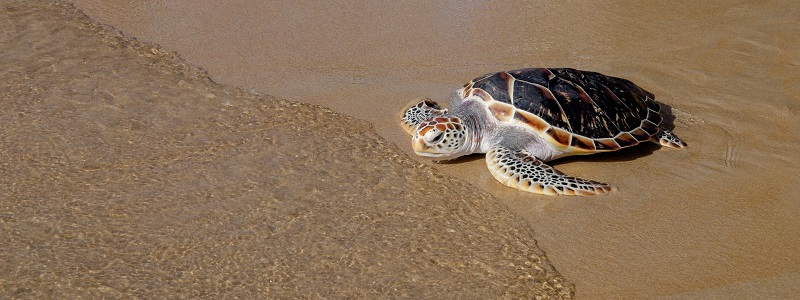 Thailand: SLP Environmental Attend Annual Turtle Conservation & Release Event